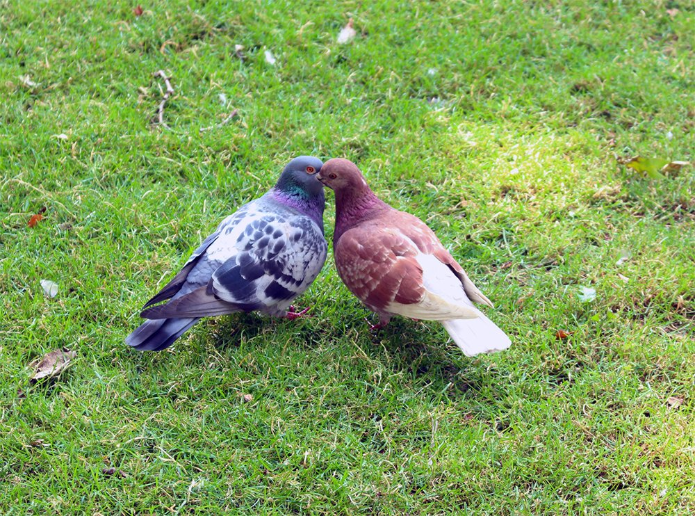 Kissing pigeons   1 Day in London Walking Itinerary