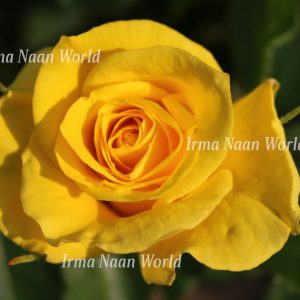Bright yellow rose under the sun