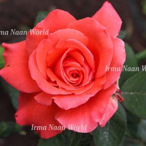 Delicate light-red rose