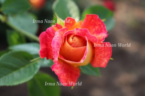 Delicate pink and yellow rose