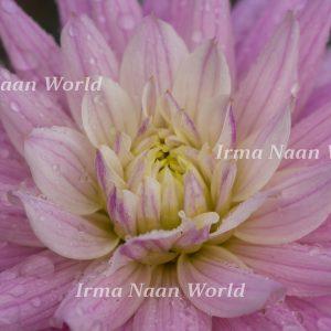 Macro pale purple and white dahlia with rain drops