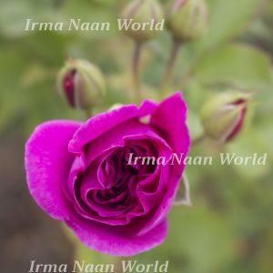 Magenta coloured rose