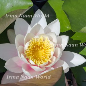 Pink and white water lily
