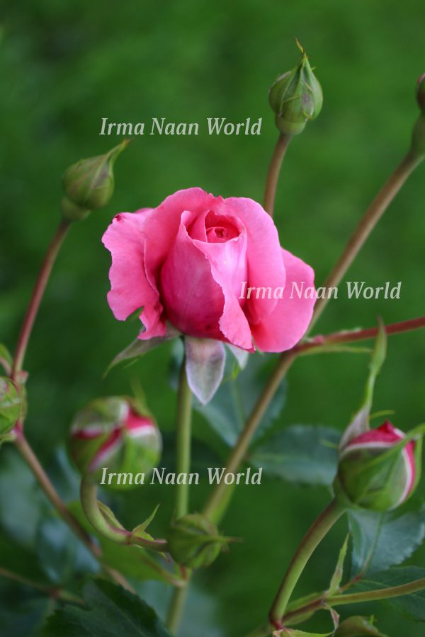 Pink rose with buds