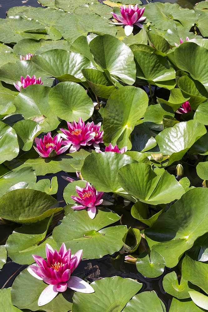 Things to do in Brno, Czech Republic, in 1 day | Water lilies in the Botanical Gardens