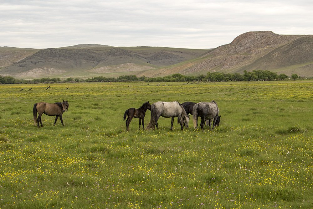 Horses in Tazheran Steppe