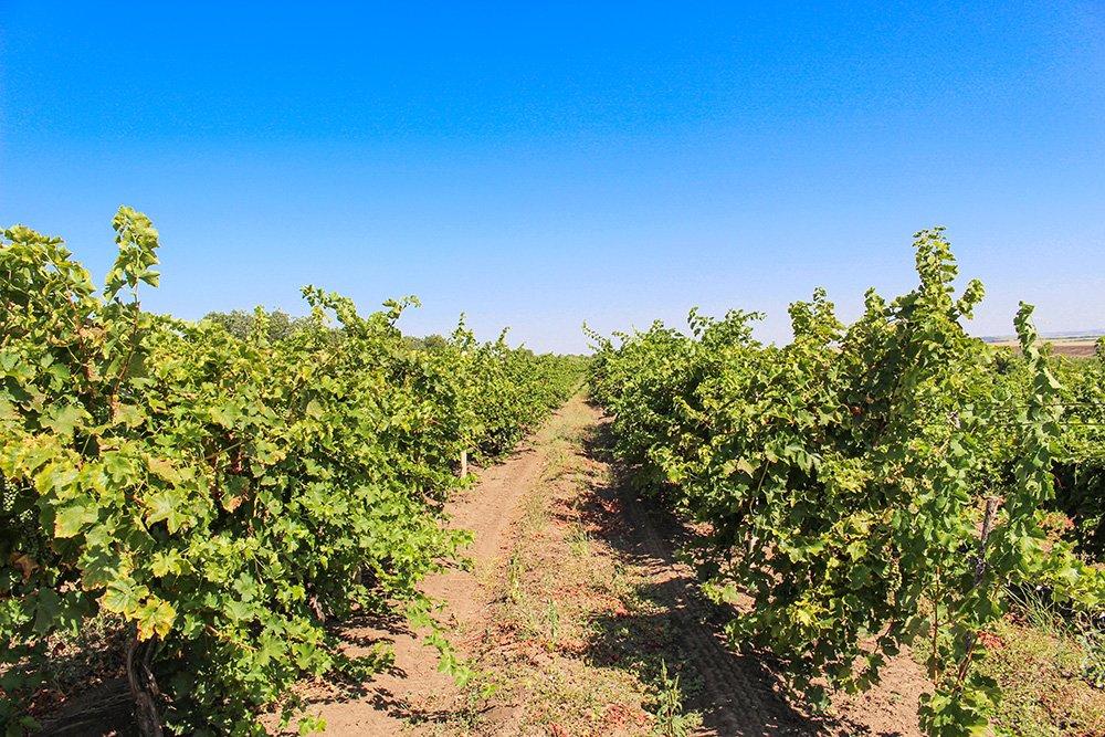 Moldovan vineyards